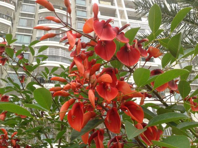 美丽的刺桐花和对顶红